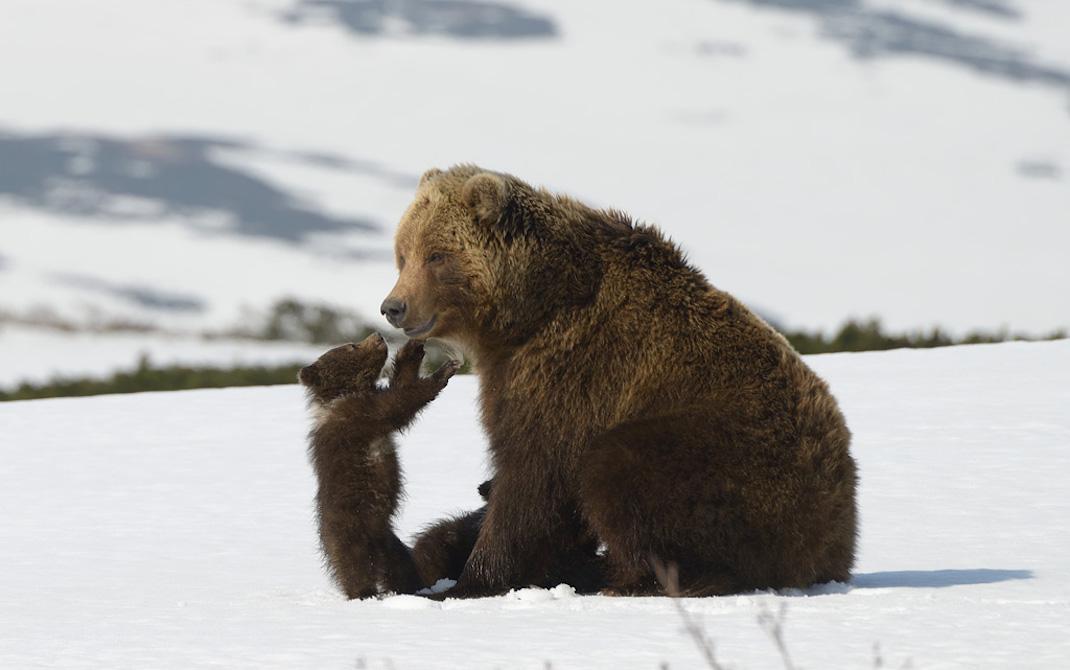 KAMCHATKA BEARS. LIFE BEGINS (IRINA ZHURAVLEVA, VLADISLVAV GRISHIN)
