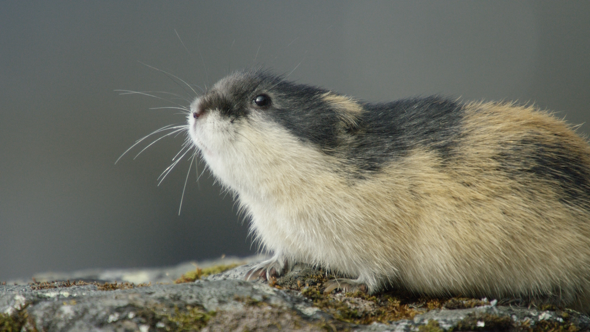 Lemming - The Little Giant Of The North