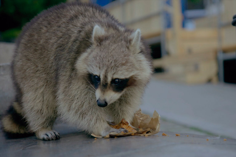 Quand les animaux sauvages emménagent en ville : La grande forêt de l'Est
